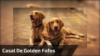 Golden Retriever, É Impossível Ficar Triste Perto Destes Cães Maravilhosos!