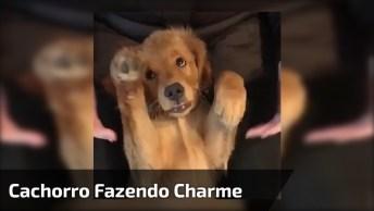 Golden Retriever Fazendo Charminho Para Dono, Olha Só Esta Carinha Dengosa!