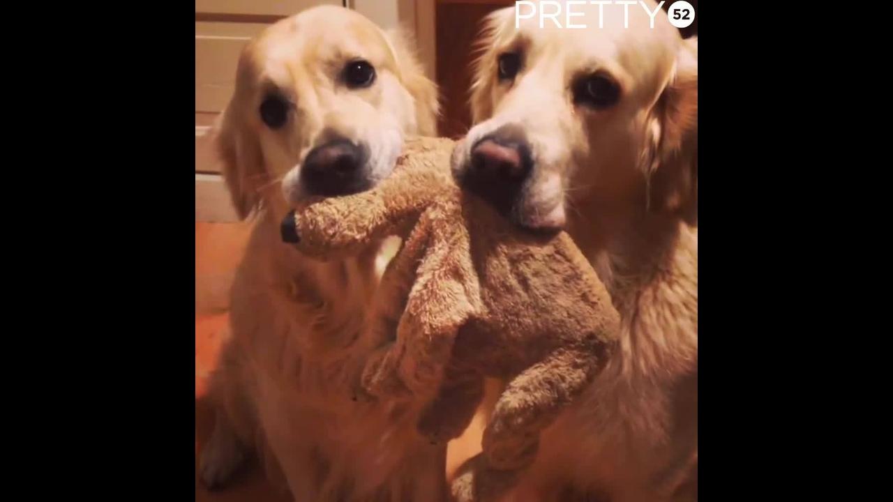 Golden retriever não querem soltar o ursinho de pelúcia