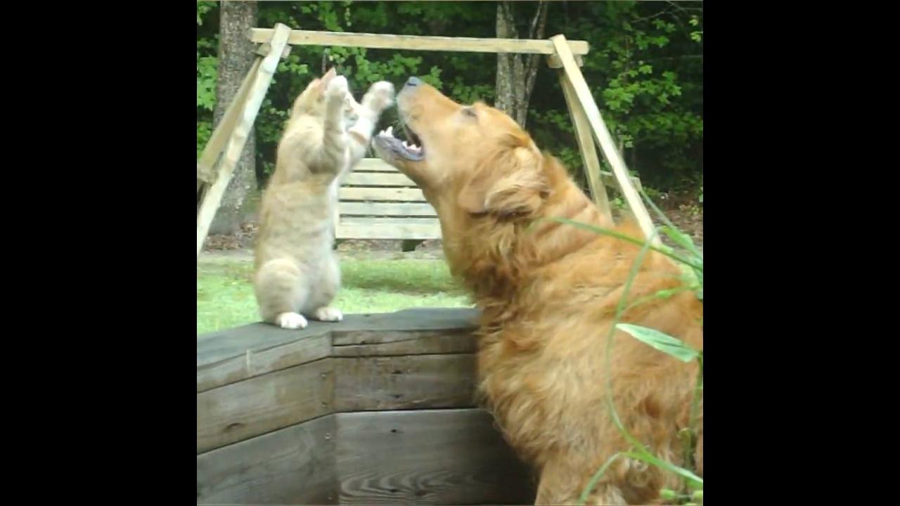 Golden retriever o melhor cachorro para fazer você sorrir o tempo todo