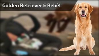 Golden Retriever Tentando Interagir Com Bebê, Olha Só Que Fofo!