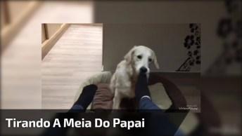Golden Retriever Tirando A Meia Do Papai, Olha Só Que Fofura Gente!