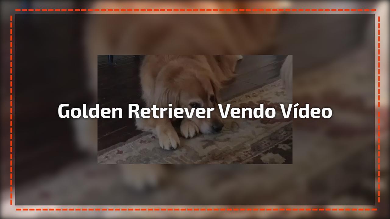 Golden retriever vendo vídeo