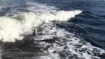 Golfinhos Pulando No Mar, Olha Só Que Imagens Incríveis!