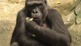 Gorila Amamentando Seu Filhote, Veja O Amor E Cuidado Desta Mamãe!