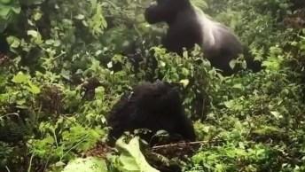 Gorila Batendo No Peito, Se Nunca Tinha Visto, Chegou A Hora De Você Ver!