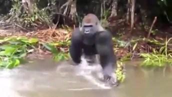 Gorila Joga Água Em 'Invasores', Veja Como Ele Fez Isso!
