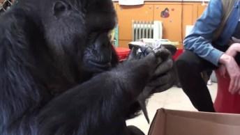 Gorila Que Ama Gatinhos, Veja Como Ela Tem Um Extremo Carinho Por Eles!
