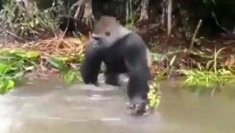 Gorila Revoltado Com Humanos Em Seu Espaço, Veja O Que Ele Fez!