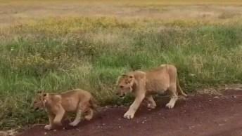 Grupo De Felinos Andando Pela Estrada De Terra, Que Família Linda!