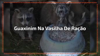 Guaxinim Mergulha Na Vasinha De Comida E Não Sai De Jeito Nenhum!