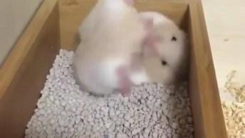 Hamster Brincando Dentro Da Caixa De Pedrinhas, Olha Só Que Fofinho!