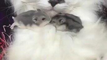 Hamster Chinês Brincando Na Barriga De Seu Amigo Gato, Olha Só Que Fofura!