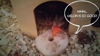 Hamster Com Seus Filhotinhos, Olha Só O Tamaninho Destes Animaizinhos!