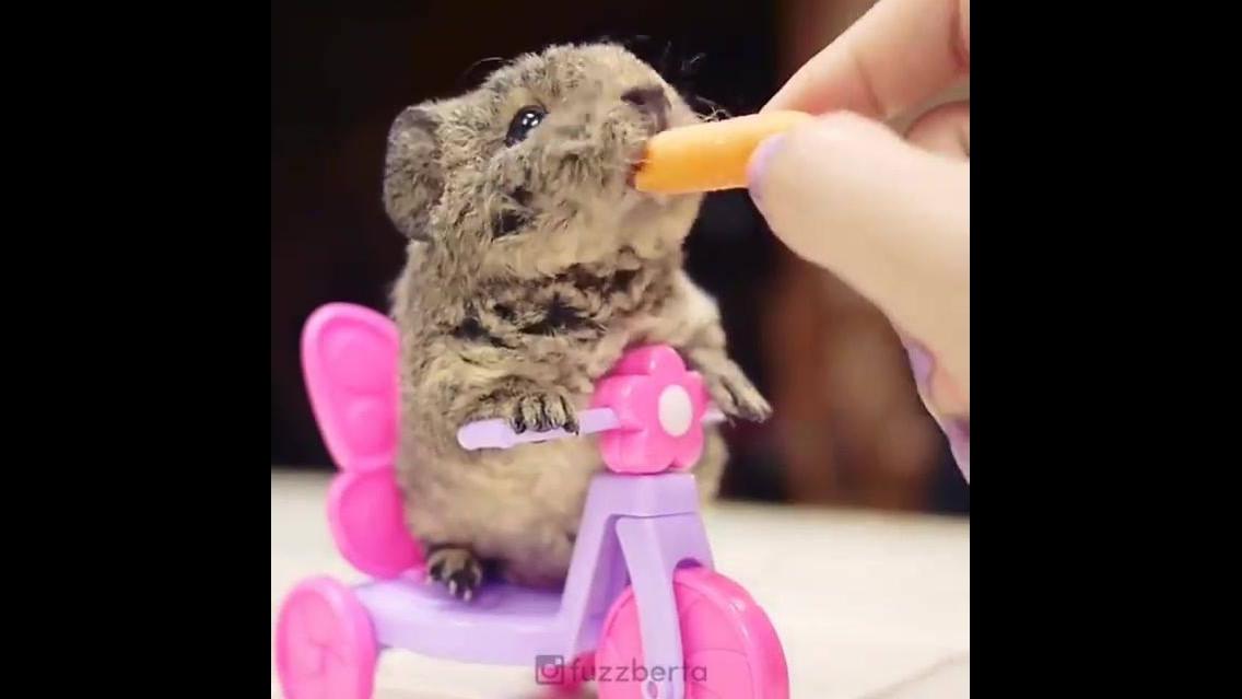 Hamster comendo cenoura, olha só que coisinha mais lindinha