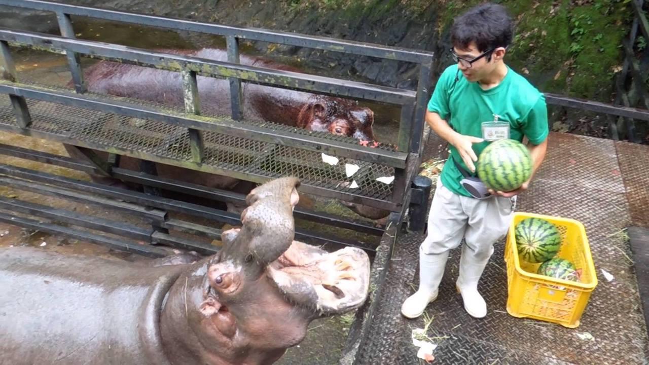 Hipopótamo sendo alimentados