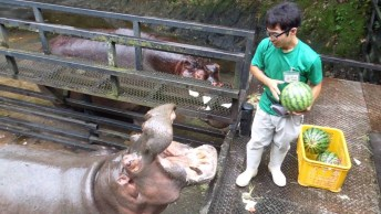 Hipopótamo Sendo Alimentados, Veja Como Eles Comem Uma Melancia Com Facilidade!