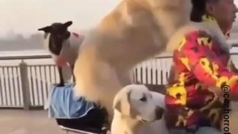 Homem Andando Com Seus Cachorros Em Cima De Uma Moto, Que Engraçado Hahaha!