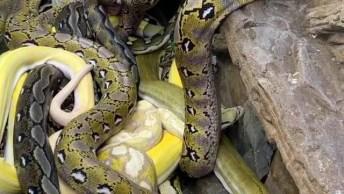 Homem No Meio De Muitas Cobras Enormes, Veja Que Arrepio Esse Vídeo!