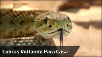 Homem Soltando Cobras De Volta A Natureza, As Imagens São Impressionantes!