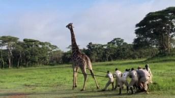 Homens Se Juntam Para Salvar Uma Girafa, Confira E Compartilhe!