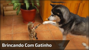 Husky Brincando Com Gatinho, Olha Só Como Ele Não Da Sossego, Hahaha!