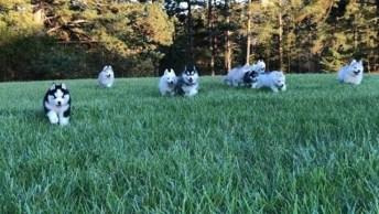 Husky Brincando No Quintal, Veja A Quantidade De Filhotes!