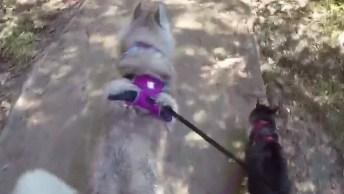 Husky E Gatinho Passeando Em Parque, Olha Só Que Amiguinhos Comportados!