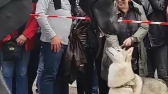 Husky Encantado Com Marionete Gigante De Cachorro, Olha Só Que Fofo!