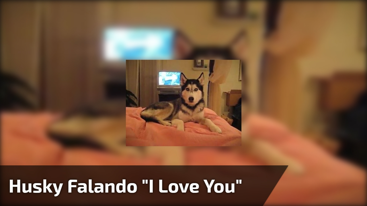 "Husky falando ""I love you"""