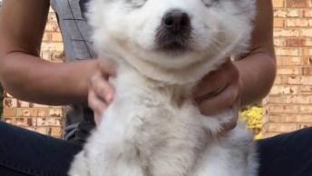 Husky Recebendo Uma Massagem, Eles Adoram Um Mimo, Olha A Carinha Dele!