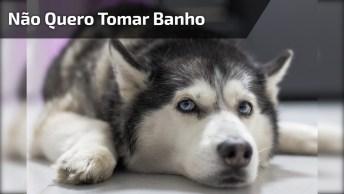 Husky Reclamando Na Hora De Tomar Banho, Olha Só Como Reclama!