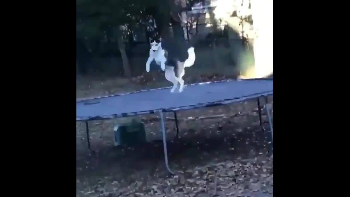 Husky siberiano brincando na cama elástica