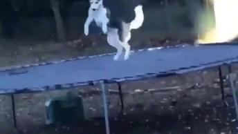 Husky Siberiano Brincando Na Cama Elástica, Veja Que Fofo!