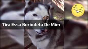 Husky Siberiano Com Borboleta Na Cabeça, Veja Como Ele Ficou Sem Jeito!