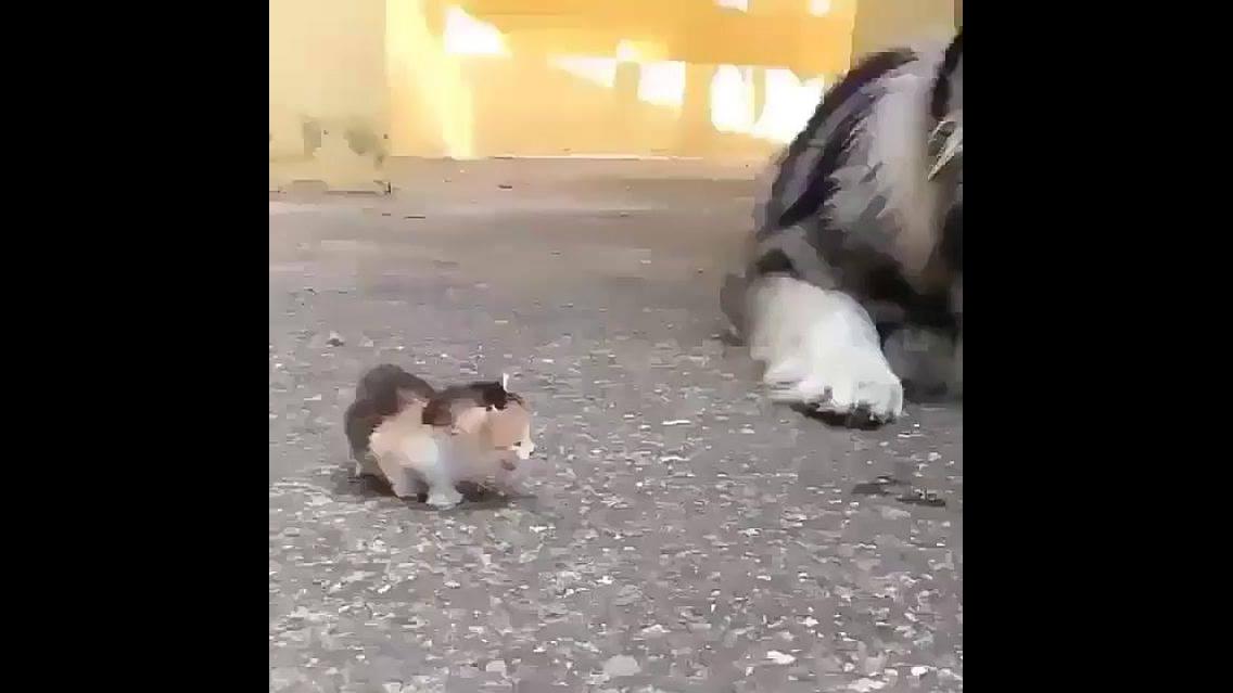 Husky siberiano com medo de filhote de gatinho