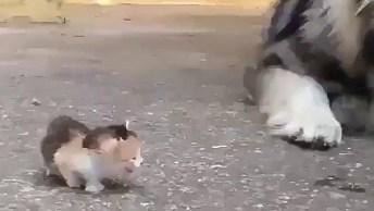 Husky Siberiano Com Medo De Filhote De Gatinho, Olha Só Que Engraçadinho!