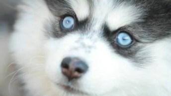 Husky Siberiano Com Seus Lindos Olhos Azuis, Que Coisa Mais Linda!