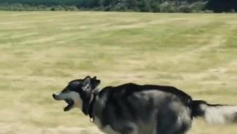 Husky Siberiano Correndo Em Câmera Lenta, Veja Que Lindas Imagens!