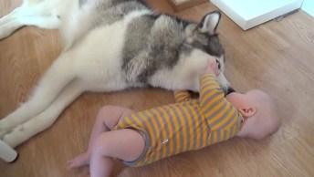 Husky Siberiano Deitado Com Bebê, Olha O Carinho Dele Com O Pequeno!