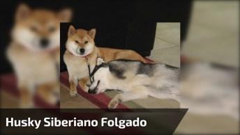Husky Siberiano Deitado Em Cima De Seu Amiguinho Da Raça Shiba Inu, Que Fofos!