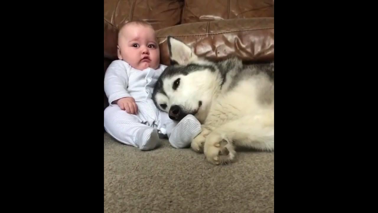 Husky siberiano deitado no colo de um bebê
