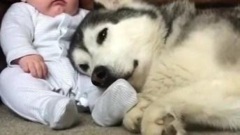 Husky Siberiano Deitado No Colo De Um Bebê, Olha Só A Delicadeza Dele!