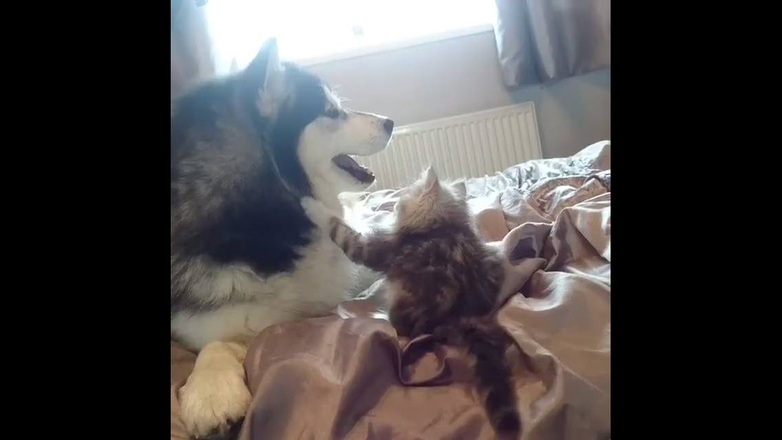 Husky siberiano e seu melhor amigo um gatinho, olha só que fofura de vídeo!!!!