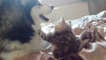 Husky Siberiano E Seu Melhor Amigo Um Gatinho, Olha Só Que Fofura De Vídeo!