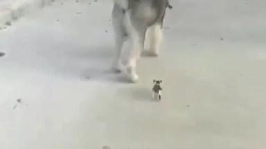 Husky Siberiano E Seu Pequenino Amiguinho, Olha Só O Tamaninho Dele!