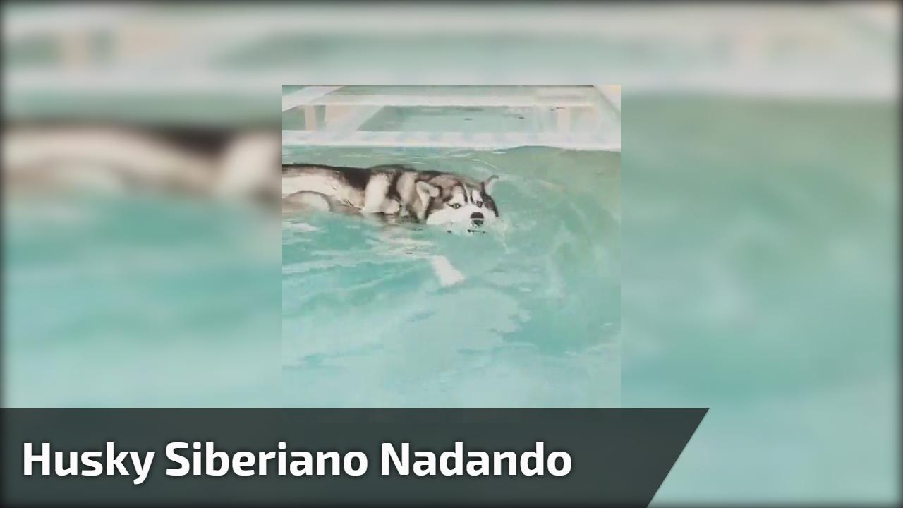 Husky siberiano nadando