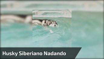 Husky Siberiano Nadando Na Piscina, Olha Só Como É Estiloso!