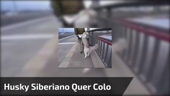 Husky Siberiano Não Quer Andar Não, Olha Só O Que Ele Faz!