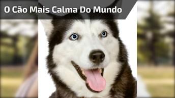Husky Siberiano O Cão Mais Calma Do Mundo, Olha Só Este Filhote O Perturbando!